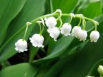 lilly of the valley by spidermansis