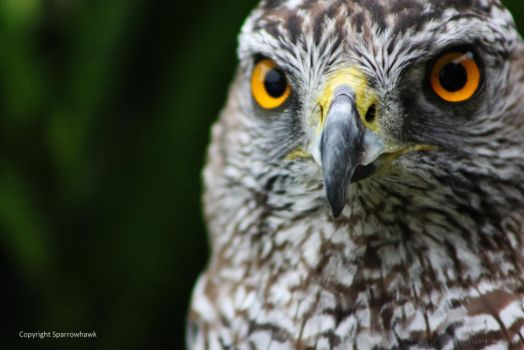 Hawk of the North 2 by Sparrowhawk389