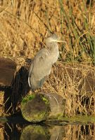 Heron Perking Up by lauph-1t-up