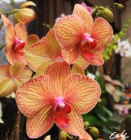 Orchids by wolmers