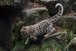 Snow Leopard 54 by CastleGraphics