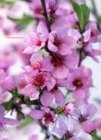 My Garden Peach Flowers by theresahelmer
