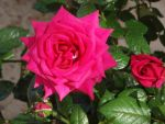 A rose is a rose is a rose by YuliaAnnaAlexz