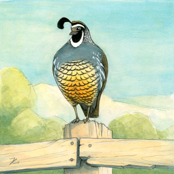 California Quail by OnyxSerpent