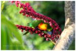 Rainbow lorikeet 02 by sharvani