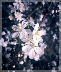 Mirabelle plum flowers by D-Dyee