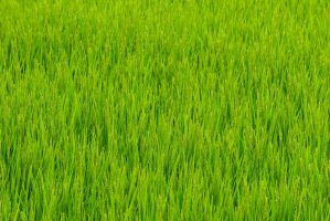 Japan Paddy field in summer by stephane-bdc