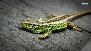 Green Reptile by GregKmk