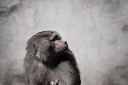 Baboon by WickedSon