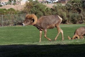Mountain Sheep Stock 3 by GloomWriter