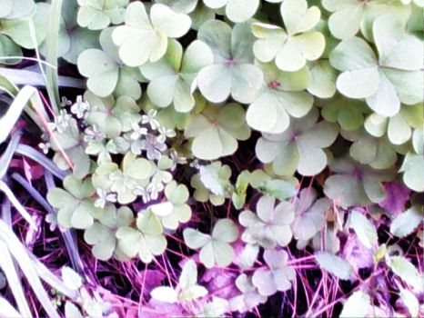 Baby Clovers by ChevelleRose