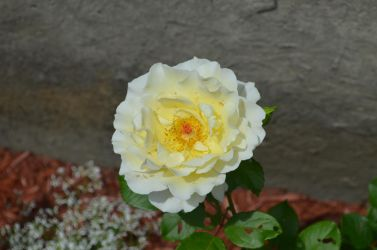 Light-yellow rose by Kyoshyu