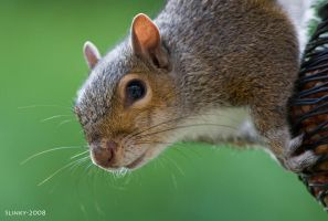 Squirrel by Slinky-2012