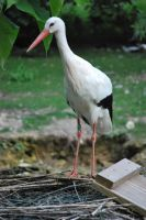 White Stork by NicamShilova