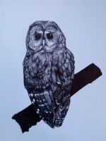 Northern spotted owl by Rippingaxe
