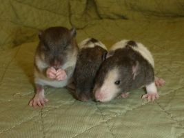 Soos, Dipper and Wendy 2 weeks old by usedbooks