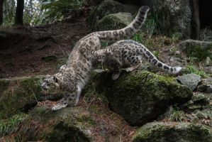 Snow Leopard 62 by CastleGraphics