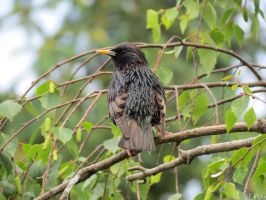 common starling by kiwipics