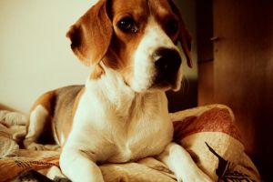 Beagle by thesimplyLexi