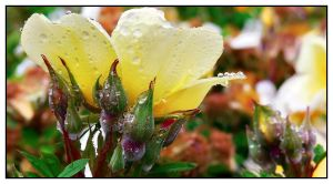 Droplets on Yellow by Frostola
