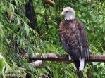 Bald Eagle by EricKemphfer