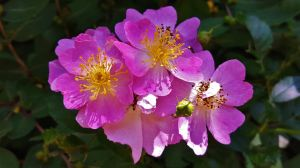 Wild Rose Cluster 2016 by Matthew-Beziat