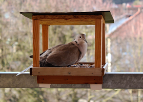 A Collared Dove by Hrasulee