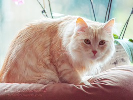 Pastel kitty by TammyPhotography