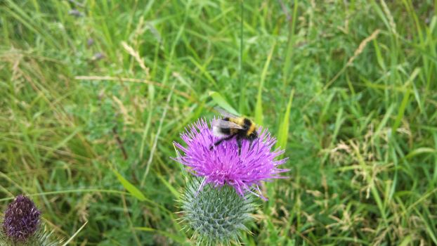 Bumble Bee on a thistle by rattyocaster
