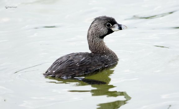 Pied-billed Grebe by Peregrijn