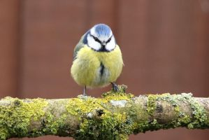 Blue Tit 11-4-18 by pell21