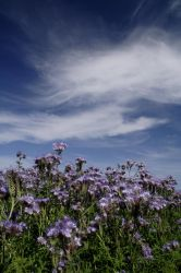 Linseed Field 3 by GailJohnson