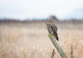 Long-eared Owl ll by deseonocturno