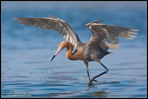 Dancing Reddish Egret by juddpatterson