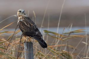Rough legged Hawk - Fence perch by JestePhotography