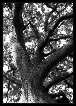 Tree in Black and White by wulfsberg