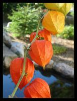 Chinese Lantern by marble911