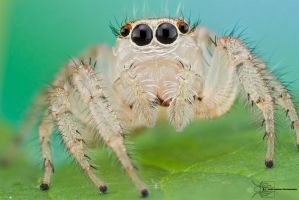 Jumping Spider - Thiodina sylvana by ColinHuttonPhoto
