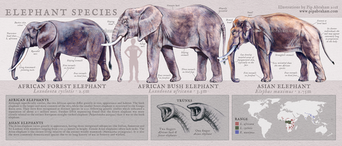 Elephant Species Identification Poster by oxpecker