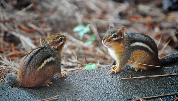 2nd shot of the 2 chipmunks by Tailgun2009