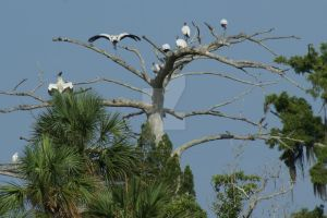 Aucilla Wood storks by annehawholt