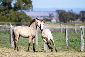 HH Canter leap front view Iberian Foal by Chunga-Stock