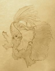 Siamese fighting fish by KateHodges