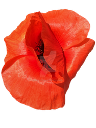 Red Poppy Flower PNG by Bunny-with-Camera