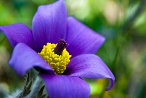 Anemone by rdalpes