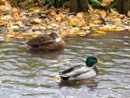 Mallard couple by xGentiana