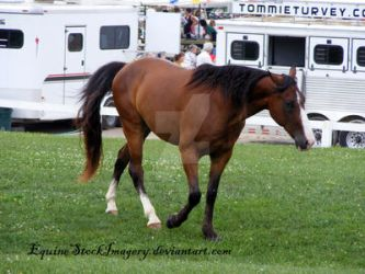 Tennessee Walking Horse 3 by EquineStockImagery