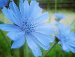 Chicory '01 by gr-unique
