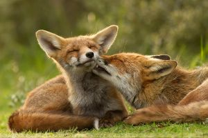 Grooming Foxes by thrumyeye