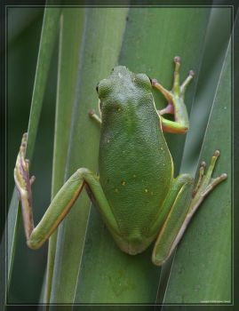 Green Tree Frog 40D0012626 by Cristian-M